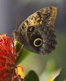 κουκουβάγια πεταλούδων Στοκ εικόνες με δικαίωμα ελεύθερης χρήσης