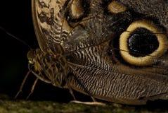 κουκουβάγια πεταλούδ&o Στοκ Φωτογραφία