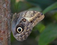 κουκουβάγια πεταλούδ&o Στοκ εικόνα με δικαίωμα ελεύθερης χρήσης