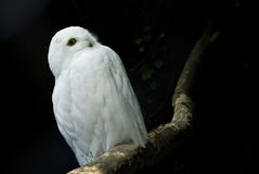 κουκουβάγια πουλιών Στοκ φωτογραφία με δικαίωμα ελεύθερης χρήσης
