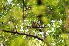Κουκουβάγια που κοιτάζει επίμονα από τον κλάδο στοκ εικόνα με δικαίωμα ελεύθερης χρήσης