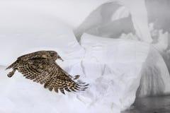 Κουκουβάγια ψαριών Blakiston, blakistoni Bubo, μεγαλύτερα είδη διαβίωσης μπούφου ψαριών Κυνήγι πουλιών στο κρύο νερό Σκηνή άγριας στοκ εικόνες με δικαίωμα ελεύθερης χρήσης