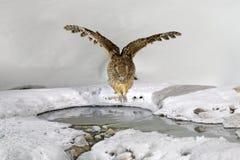 Κουκουβάγια ψαριών Blakiston ` s, πιασμένα ψάρια στο λογαριασμό, μεγαλύτερα είδη διαβίωσης κουκουβάγιας Κυνήγι πουλιών στο κρύο ν Στοκ Φωτογραφίες