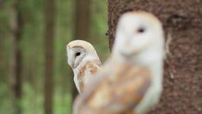 Κουκουβάγια δύο σιταποθηκών (tyto alba) στην άγρια φύση απόθεμα βίντεο