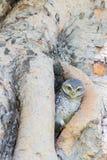 Κουκουβάγια Burrowing στην τρύπα δέντρων Στοκ Φωτογραφίες