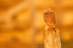 Κουκουβάγια Burrowing, cunicularia Athene, πουλί νύχτας με το όμορφο φως ήλιων βραδιού, ζώο στο βιότοπο φύσης, Mato Grosso, Panta Στοκ Εικόνες