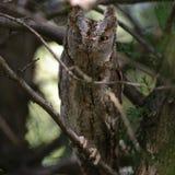 Κουκουβάγια Scops που καλύπτεται στους κλάδους ενός δέντρου Otus scops Στοκ εικόνες με δικαίωμα ελεύθερης χρήσης