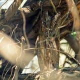 Κουκουβάγια Scops που καλύπτεται στους κλάδους ενός δέντρου Otus scops Στοκ Εικόνα