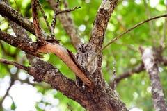 Κουκουβάγια Scops σε ένα δέντρο Στοκ Φωτογραφίες
