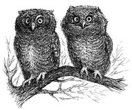 κουκουβάγιες δύο Στοκ φωτογραφία με δικαίωμα ελεύθερης χρήσης