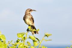 κουκούλα mockingbird Στοκ εικόνες με δικαίωμα ελεύθερης χρήσης