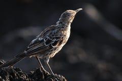 κουκούλα mockingbird Στοκ Εικόνες