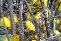 Κουκούλια σκουληκιών μεταξιού στις φωλιές στοκ εικόνες