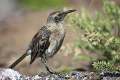 Κουκούλα Mockingbird Στοκ Φωτογραφίες