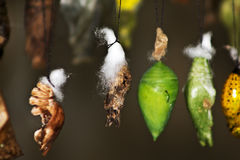 Κουκούλια πεταλούδων που κρεμούν σε έναν κλαδίσκο Στοκ Εικόνες
