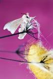 Κουκούλι πεταλούδων μεταξιού Στοκ εικόνες με δικαίωμα ελεύθερης χρήσης