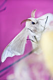 Κουκούλι πεταλούδων μεταξιού Στοκ φωτογραφία με δικαίωμα ελεύθερης χρήσης