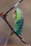 Κουκούλι πεταλούδων podalirius Iphiclides Στοκ εικόνες με δικαίωμα ελεύθερης χρήσης