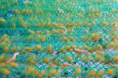Κουκούλι σκουληκιών μεταξιού Στοκ Εικόνες