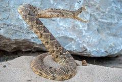 Κουλουριασμένο φίδι κουδουνισμάτων στην άμμο Στοκ Φωτογραφίες