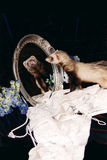 Κουνάβι που κοιτάζει στον καθρέφτη Στοκ φωτογραφία με δικαίωμα ελεύθερης χρήσης