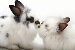 κουνέλια αγάπης Στοκ Εικόνα