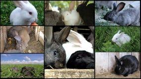 Κουνέλια, πολλά κουνέλια, γεωργία ζώων αγροκτημάτων απόθεμα βίντεο