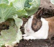 Κουνέλι και λάχανο Στοκ εικόνα με δικαίωμα ελεύθερης χρήσης