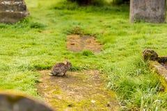 Κουνέλι στο παλαιό γοτθικό νεκροταφείο, Σκωτία Στοκ εικόνες με δικαίωμα ελεύθερης χρήσης