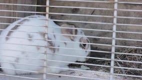 Κουνέλι στο κουνέλι hutch που τρώει το λάχανο και το σανό φιλμ μικρού μήκους