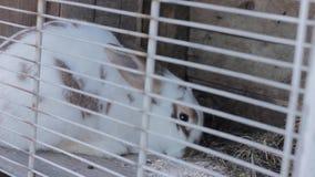 Κουνέλι στο κουνέλι hutch που τρώει το λάχανο και το σανό απόθεμα βίντεο