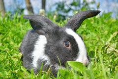 Κουνέλια στην πράσινη χλόη Στοκ Εικόνες