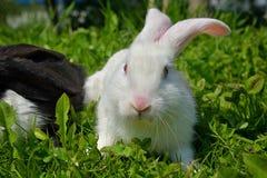 Κουνέλια στην πράσινη χλόη Στοκ φωτογραφίες με δικαίωμα ελεύθερης χρήσης