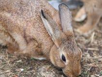 Κουνέλι με τα μακριά αυτιά και την αναστατωμένη γούνα Στοκ εικόνα με δικαίωμα ελεύθερης χρήσης