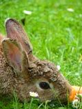 Κουνέλι με το καρότο Στοκ Εικόνα