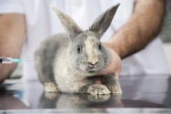 Κουνέλι που παίρνει την έγχυση από τον αρσενικό κτηνίατρο Στοκ Εικόνες