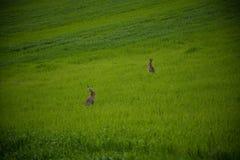 Κουνέλι που πηδά σε έναν πράσινο τομέα Στοκ εικόνες με δικαίωμα ελεύθερης χρήσης