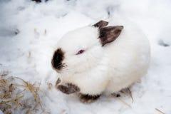 Κουνέλι το χειμώνα Γκρίζα και άσπρα λαγουδάκια το χειμώνα στο χιόνι Στοκ Εικόνα