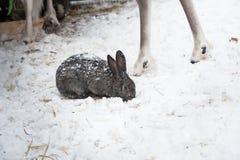 Κουνέλι το χειμώνα Γκρίζα και άσπρα λαγουδάκια το χειμώνα στο χιόνι Στοκ φωτογραφίες με δικαίωμα ελεύθερης χρήσης