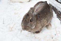 Κουνέλι το χειμώνα Γκρίζα και άσπρα λαγουδάκια το χειμώνα στο χιόνι Στοκ εικόνα με δικαίωμα ελεύθερης χρήσης