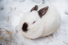 Κουνέλι το χειμώνα Γκρίζα και άσπρα λαγουδάκια το χειμώνα στο χιόνι Στοκ Φωτογραφία