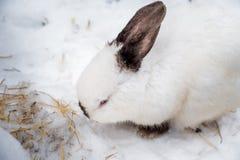 Κουνέλι το χειμώνα Γκρίζα και άσπρα λαγουδάκια το χειμώνα στο χιόνι Στοκ εικόνες με δικαίωμα ελεύθερης χρήσης