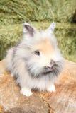 Κουνέλι Lionhead στοκ εικόνες