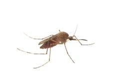 κουνούπι αίματος στοκ εικόνες