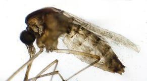 Κουνούπι κάτω από το μικροσκόπιο στοκ εικόνα με δικαίωμα ελεύθερης χρήσης