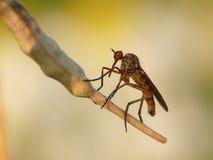 Κουνούπι με μια μακριά μύτη στοκ εικόνες