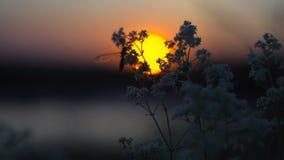 Κουνούπι που πηγαίνει στον ύπνο κοντά στον ποταμό στο ηλιοβασίλεμα απόθεμα βίντεο