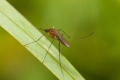 Κουνούπι σε ένα φύλλο Στοκ φωτογραφία με δικαίωμα ελεύθερης χρήσης