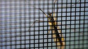 Κουνούπι στο πλέγμα απόθεμα βίντεο