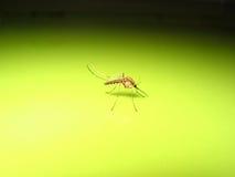κουνούπι στοκ εικόνες με δικαίωμα ελεύθερης χρήσης